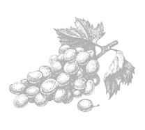 grozdje_vinarija-zadro-vina